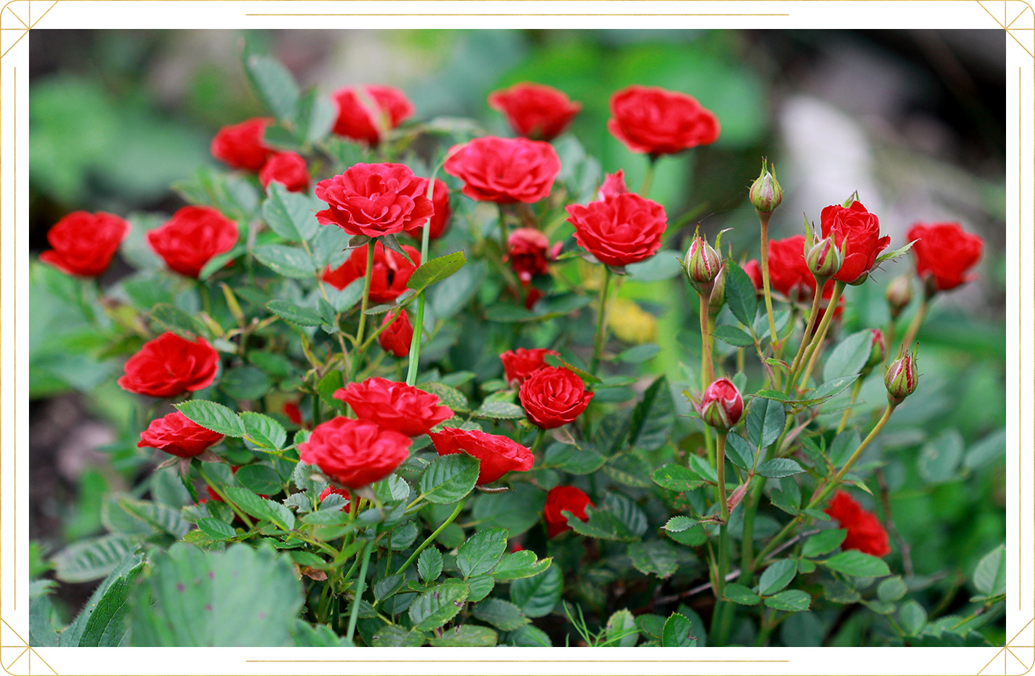 photo of red miniature roses