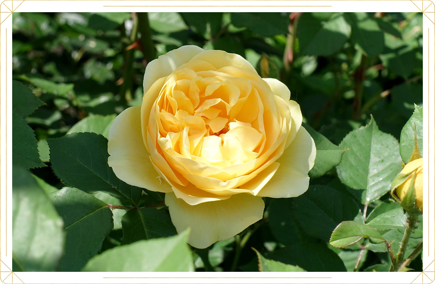 photo of yellow colored rose
