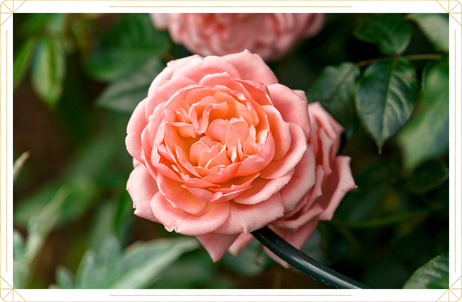 photo of pink colored rose