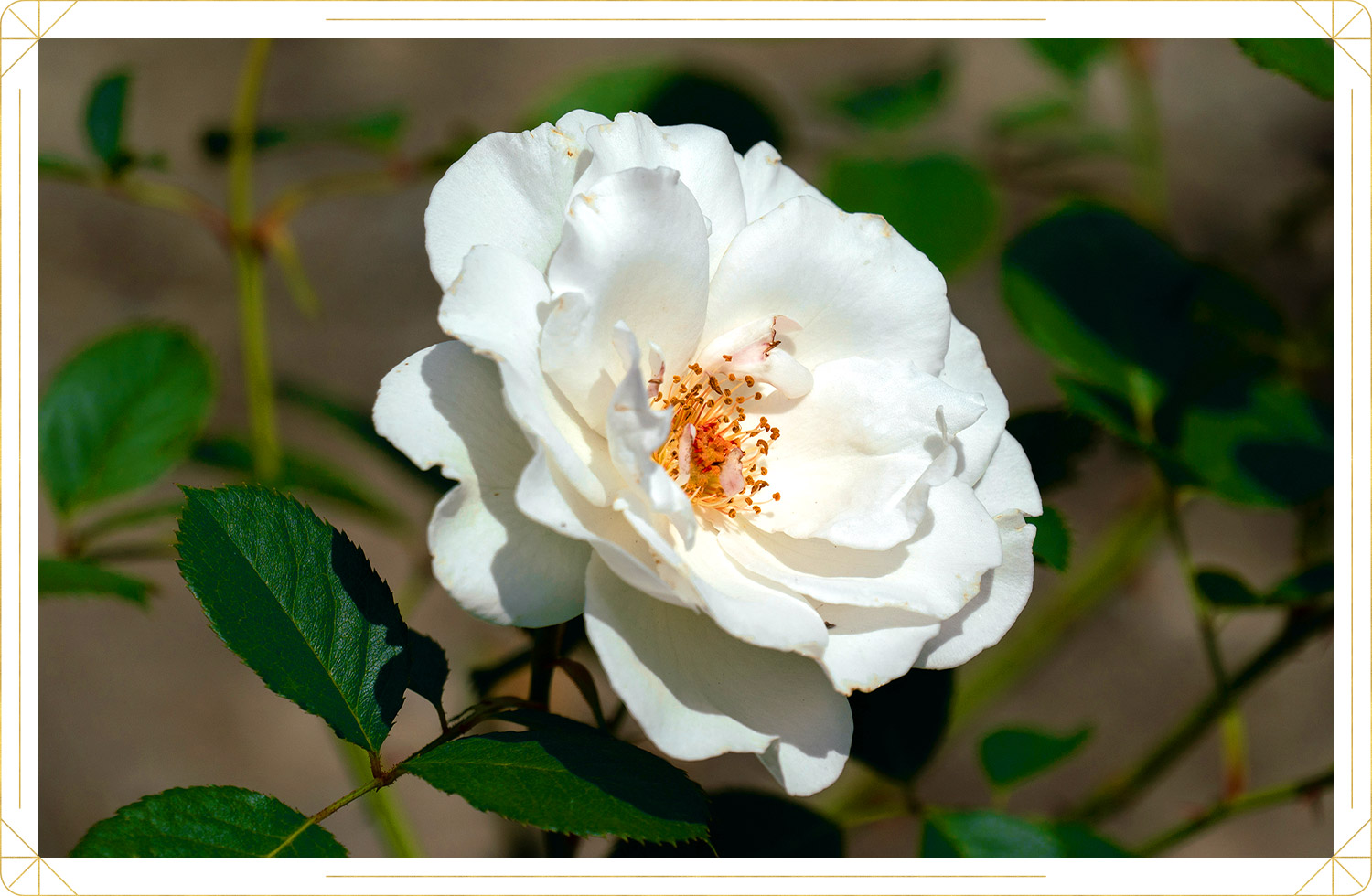 photo of white colored rose