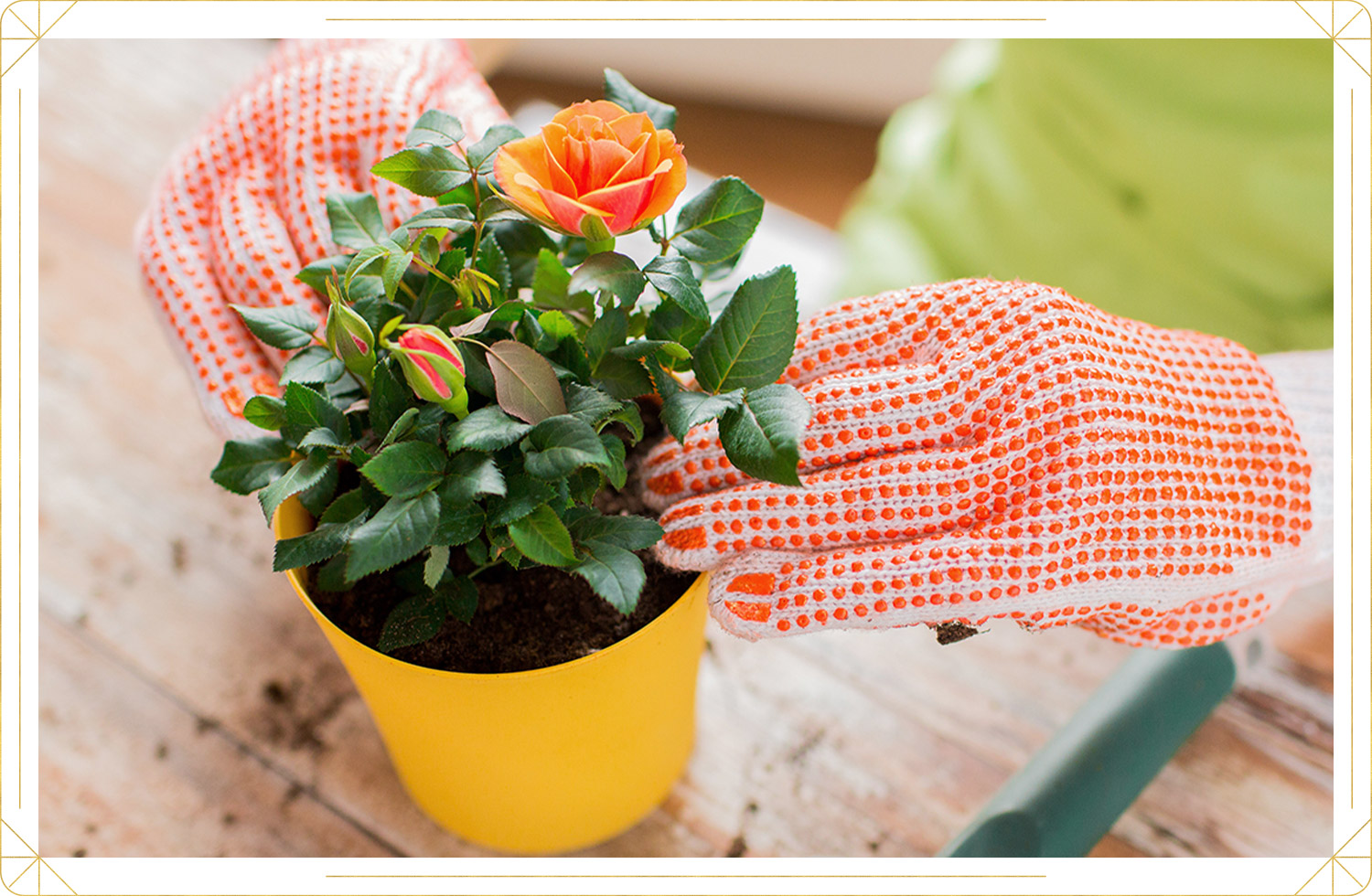 photo of gloved hands planting a pot of roses