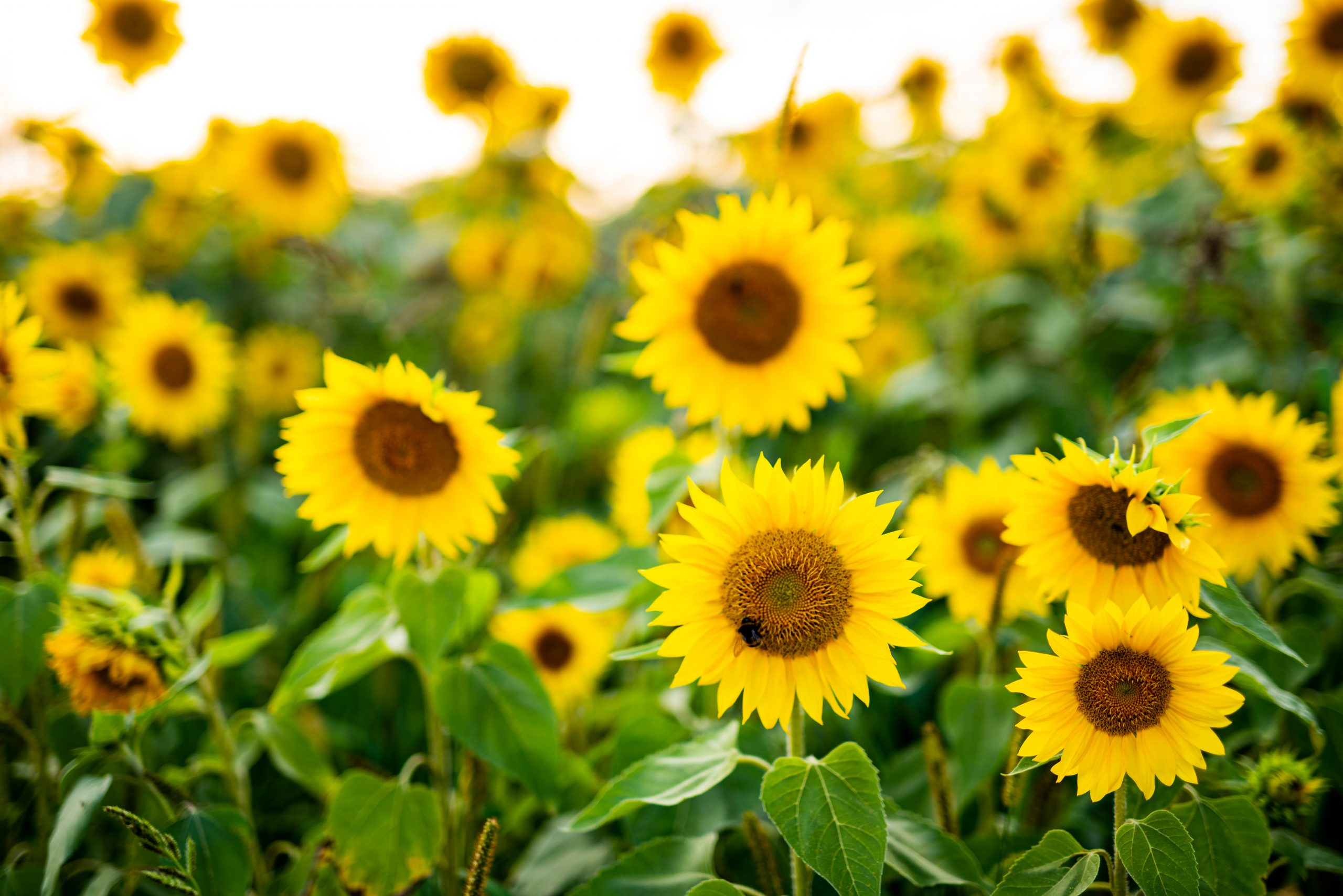 bright yellow sunflowers in a field