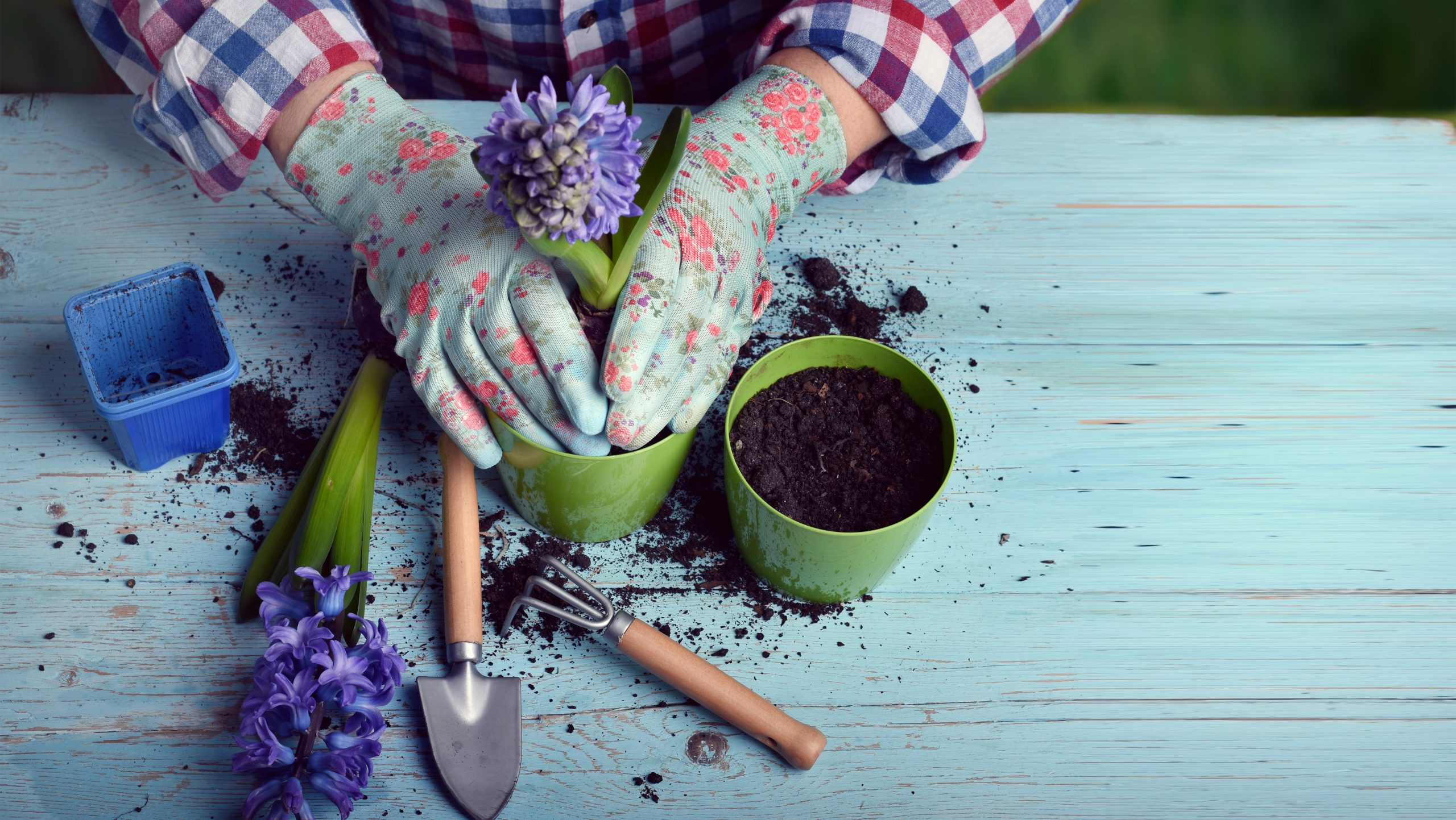 person transplanting flower out of pot