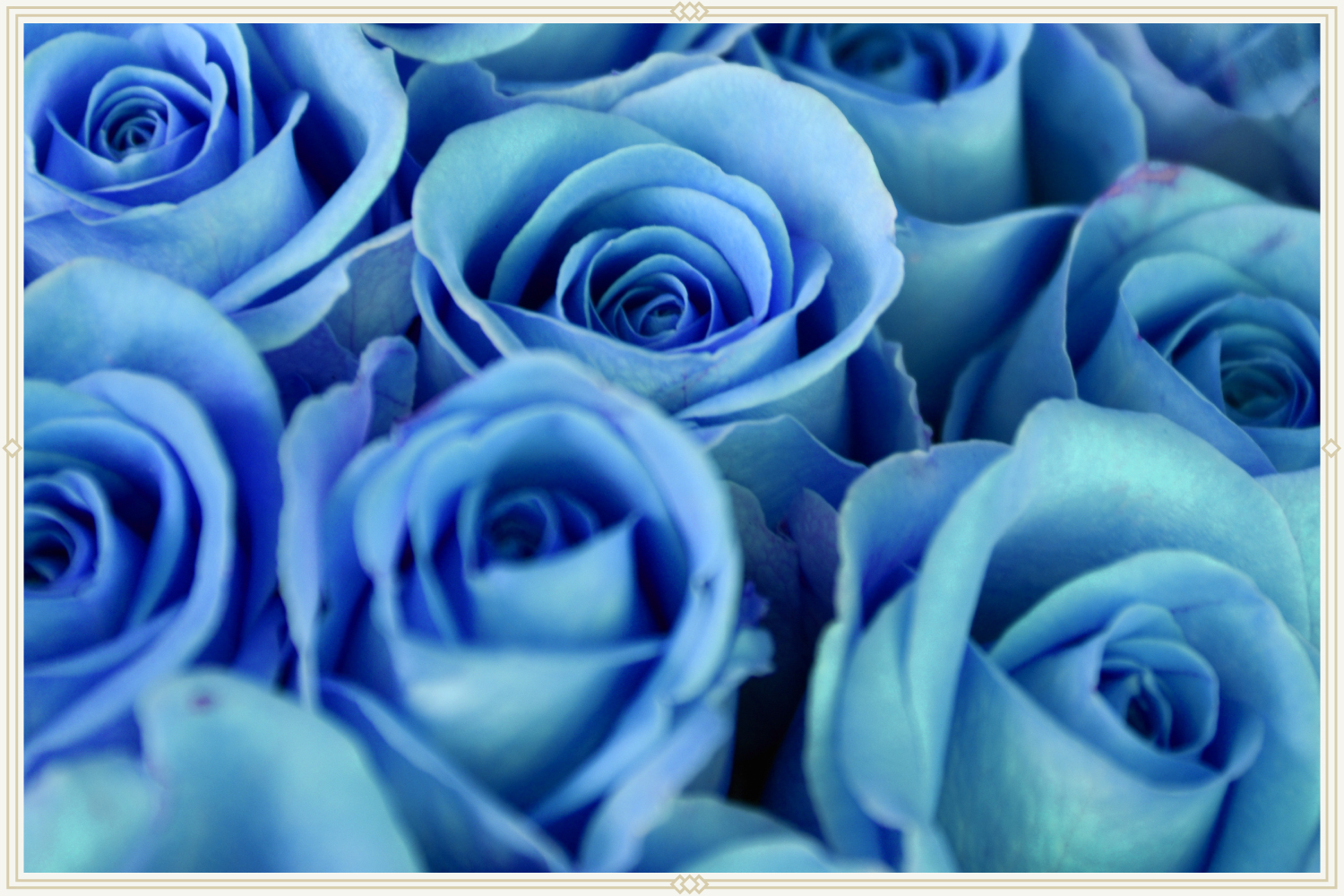 close-up shot of blue roses