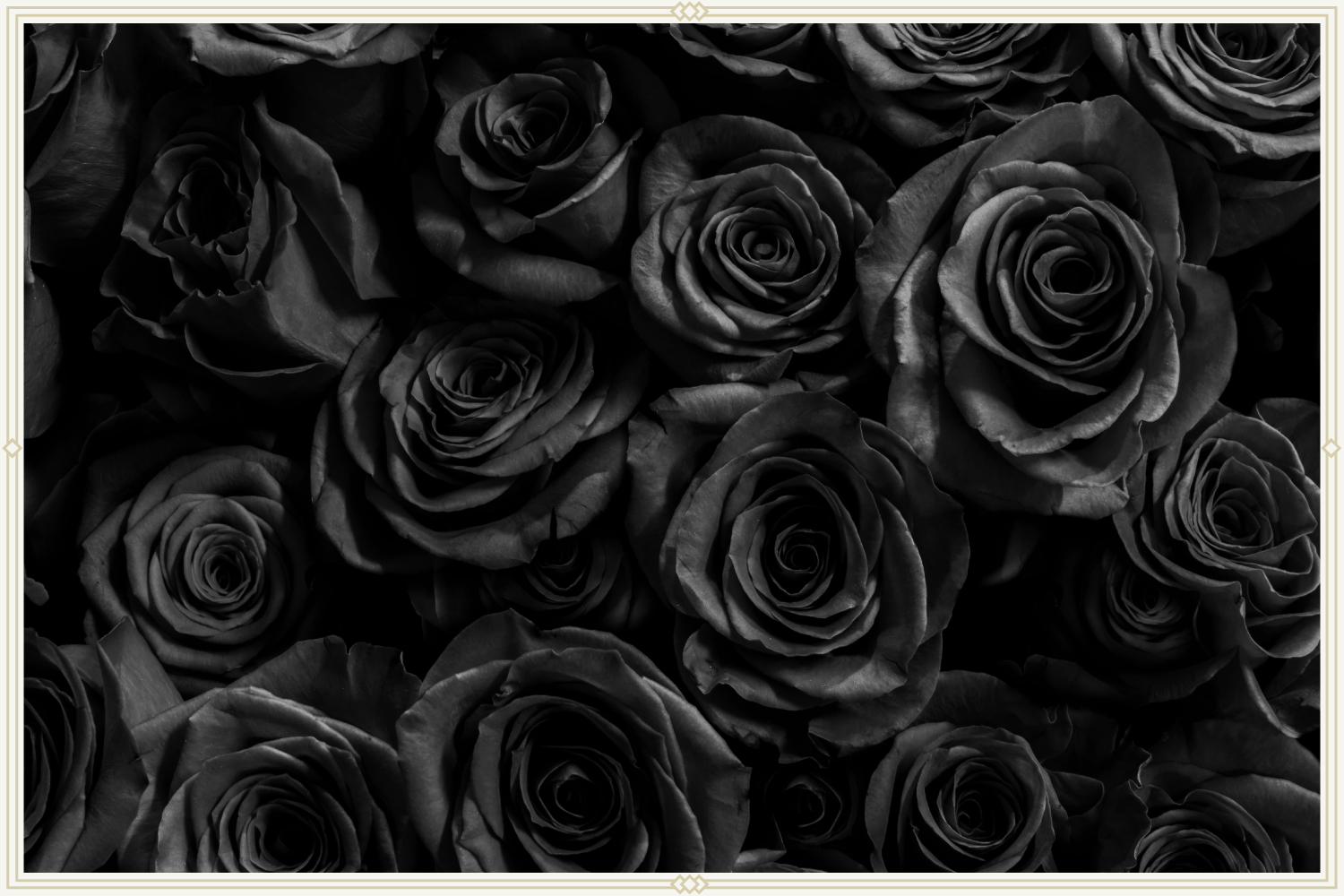 close-up shot of black roses
