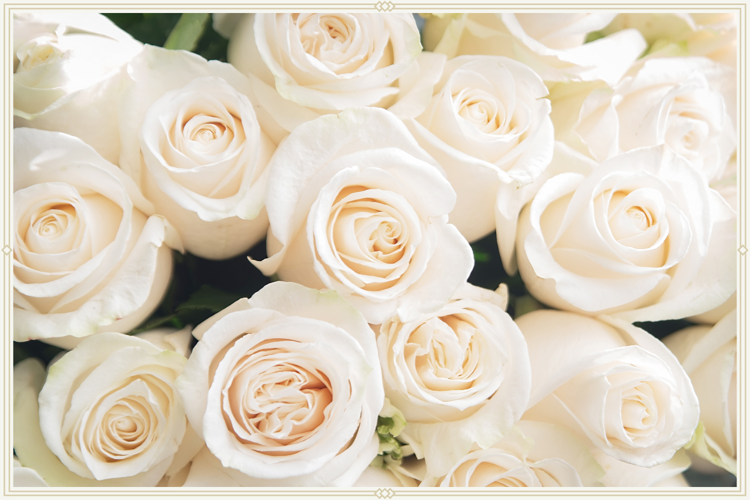 close-up shot of white roses