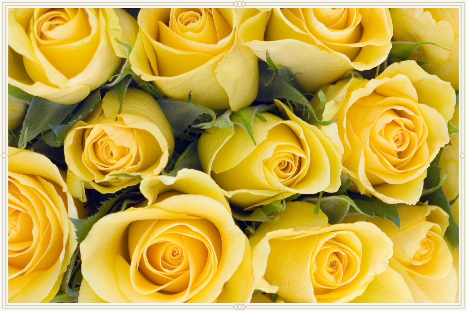close-up shot of yellow roses