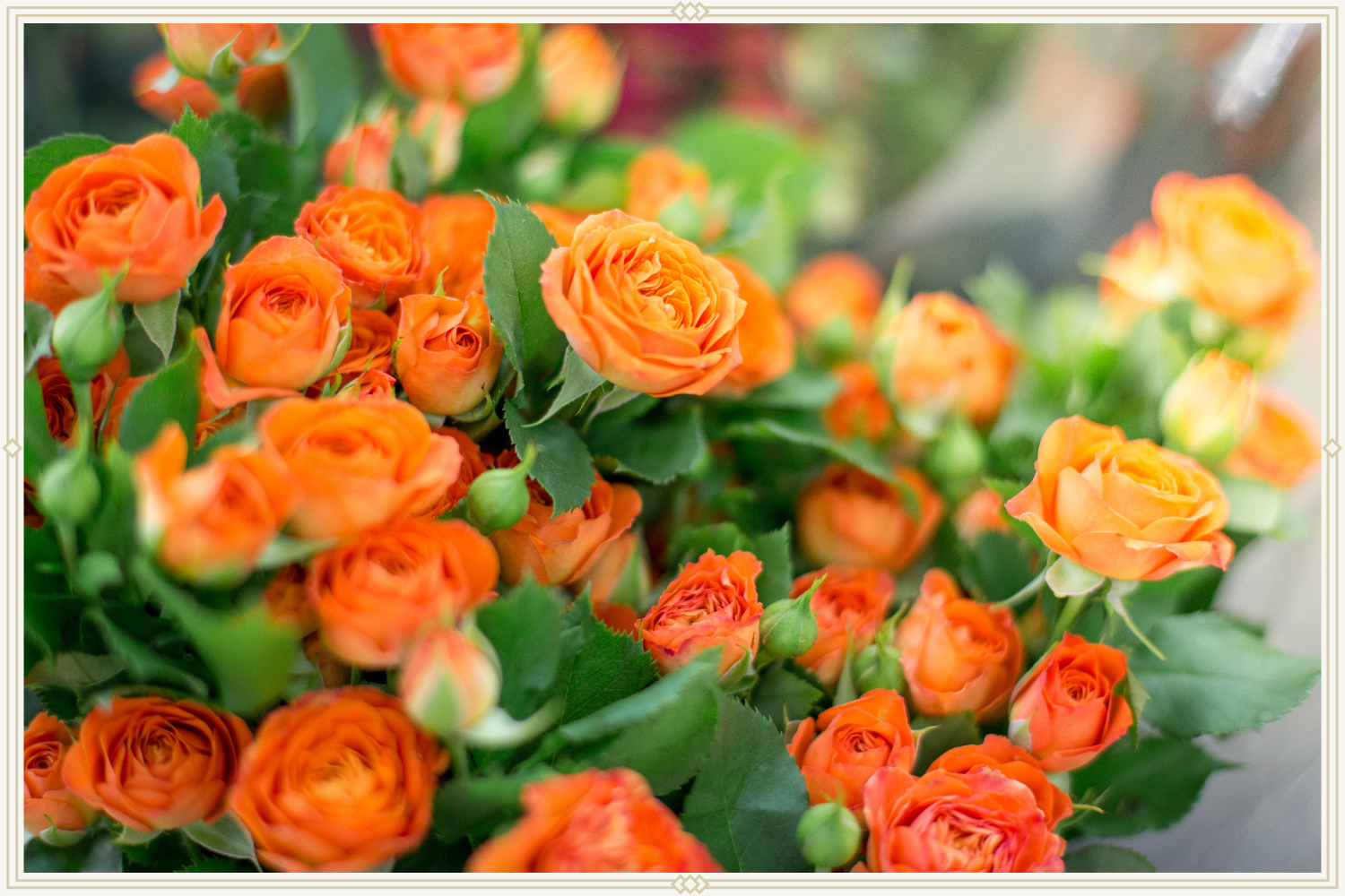 close-up shot of orange roses