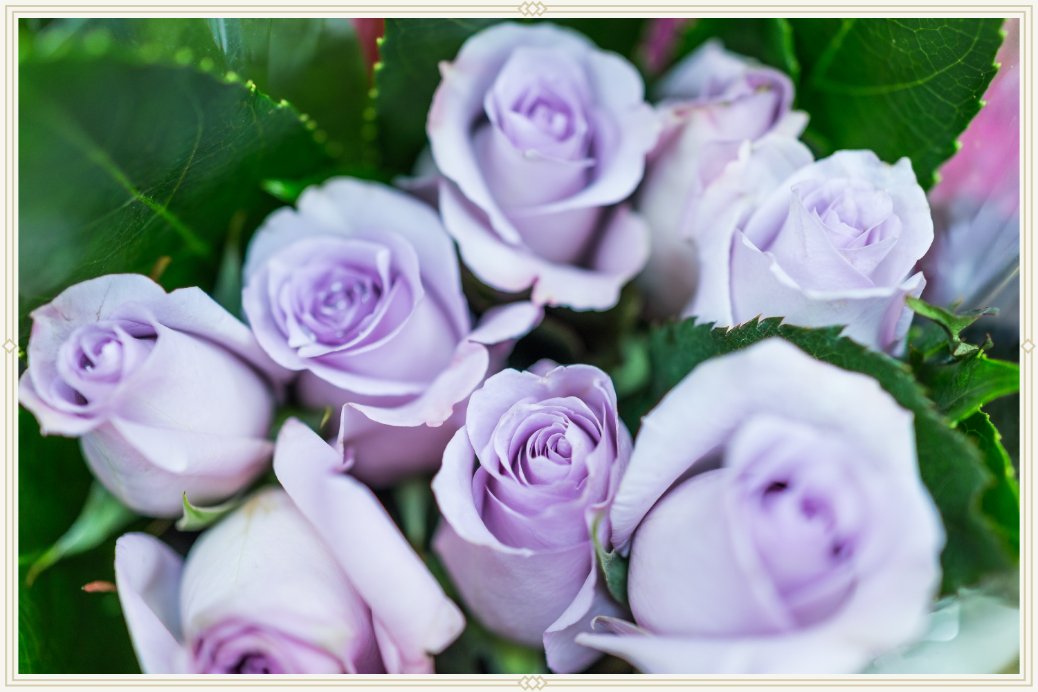 close-up shot of lavender roses