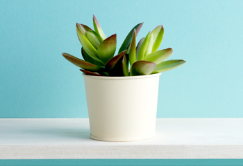 a jade plant on a white table with a blue background