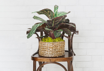 image of a prayer plant in a tan basket on a brown chair in front of a white brick wall