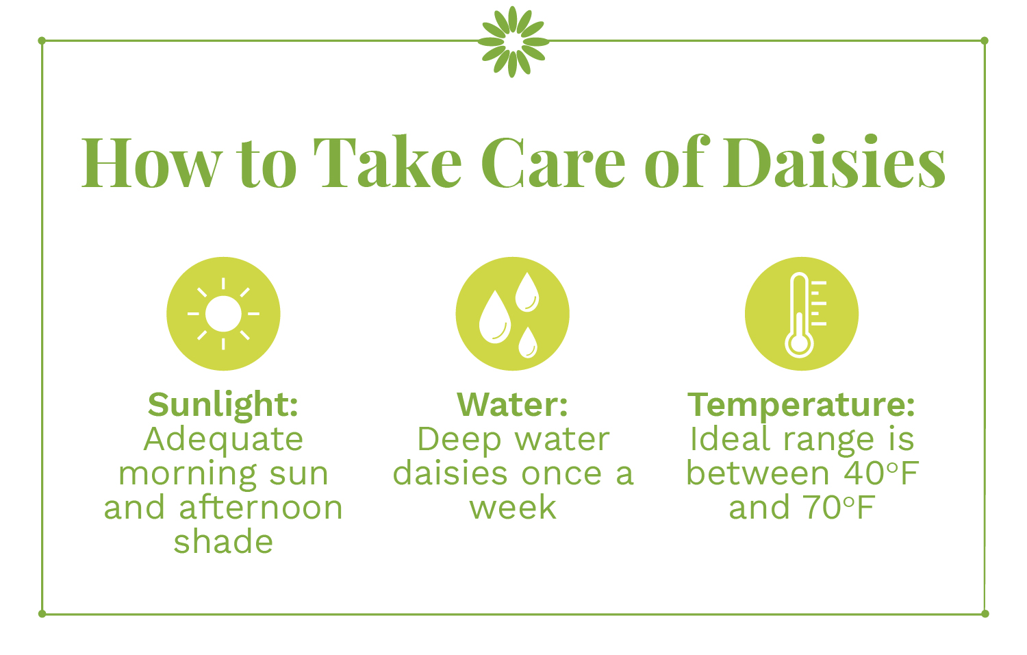 instructions on how to take care of daisies