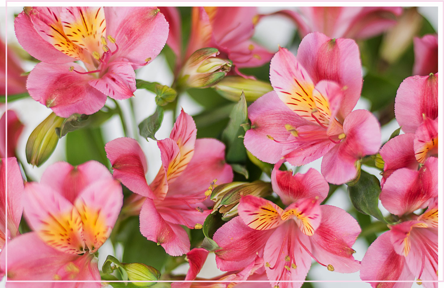 photo of bright pink flowers