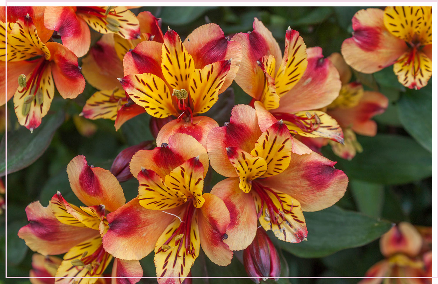 photo of orange and pink flowers