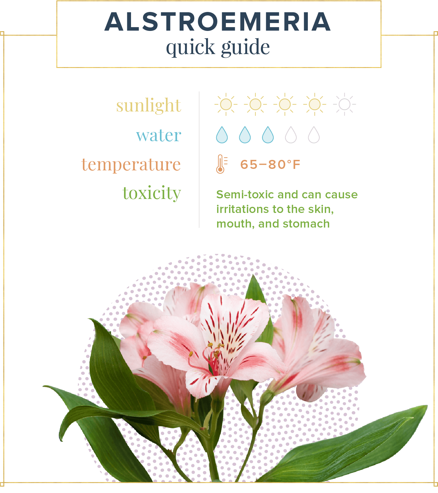 altstroemeria care guide with pink flower on a white background