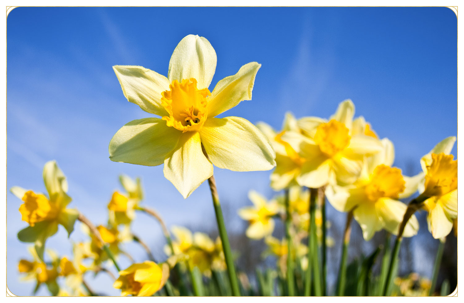 yellow daffodils in garden with blue sky