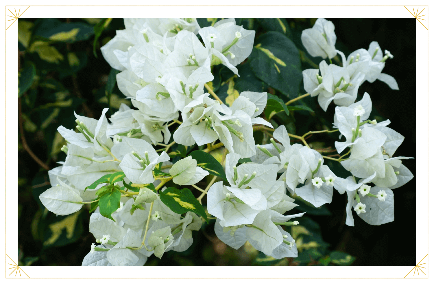 Bougainvillea Care Guide How To Care For Bougainvilleas In Pots Growing Tips Proflowers